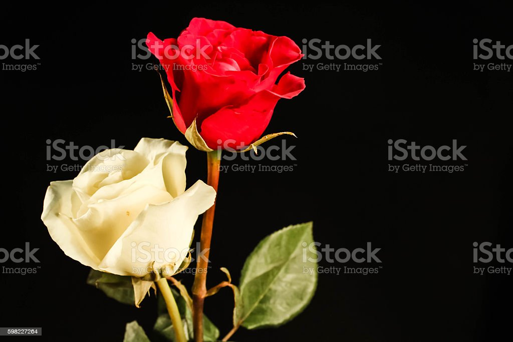 Double colored rose foto royalty-free
