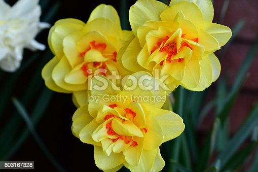 Double daffodils have multiple rings of petals or tufted cups full of frills. The colors of flower may be yellow, white, pink or mixed. Flowers are so packed with petals that they sometimes look almost like miniature peonies.