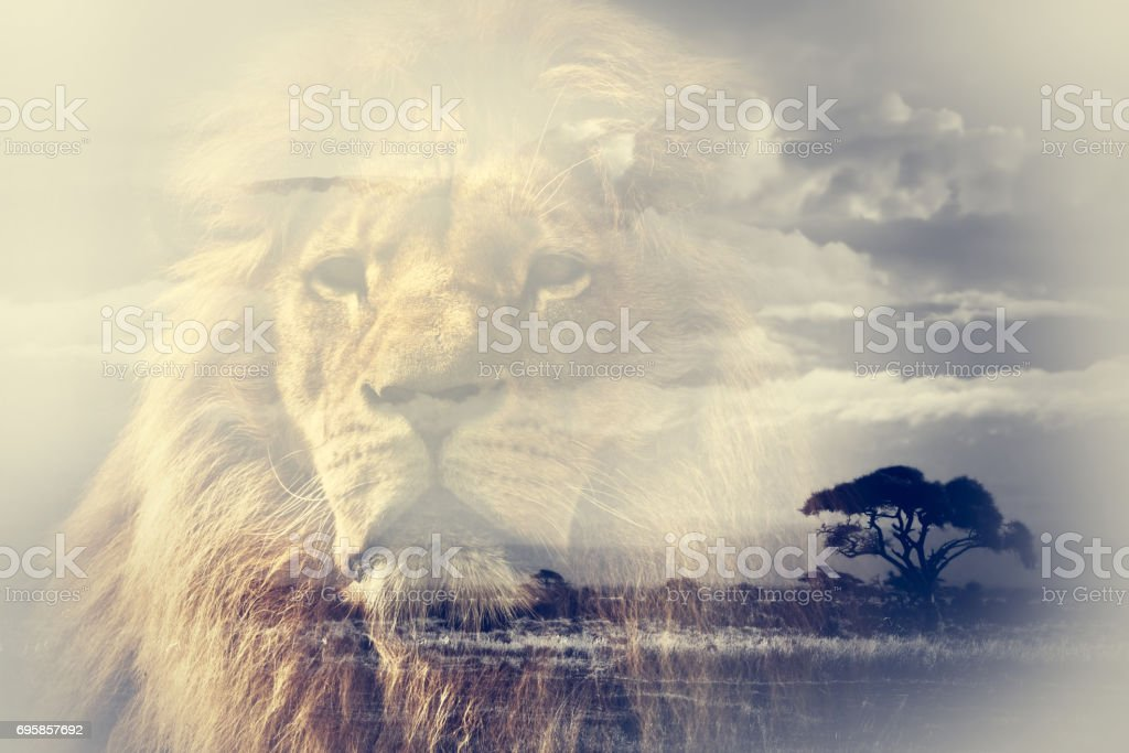Double exposure of lion and Mount Kilimanjaro savanna landscape. stock photo