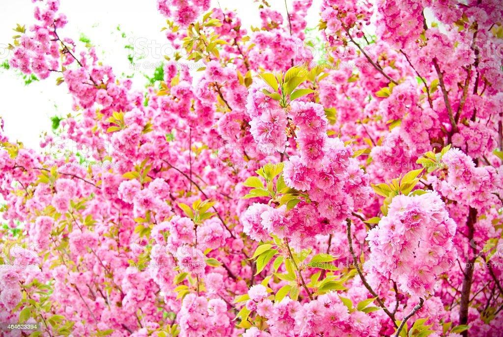 ダブルの桜の花 ストックフォト