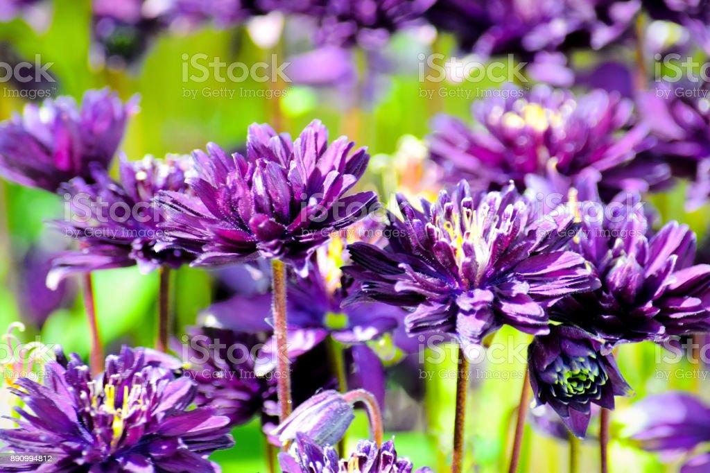 Double flowered aquilegia or European columbine stock photo