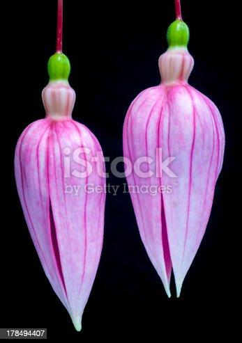 Double fuchsia