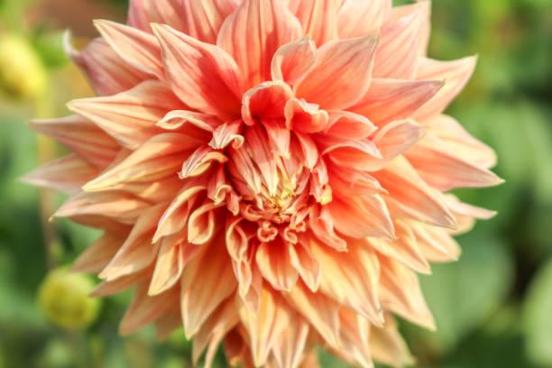 Double Orange Dahlia flower