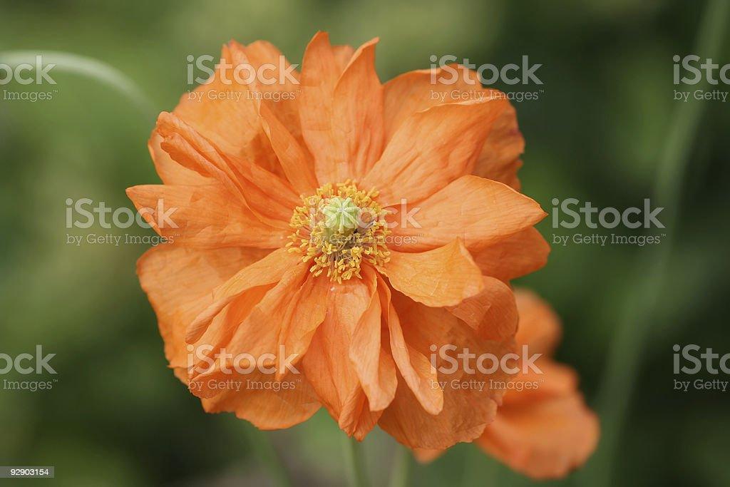 Double Petalled Orange Poppy royalty-free stock photo