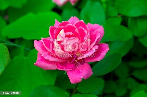Hot pink double knockout rose from a spring southern garden