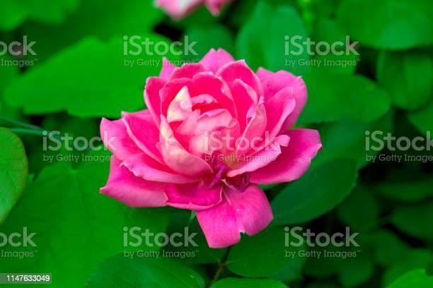 Double pink knockout rose picture id1147633049?b=1&k=6&m=1147633049&s=612x612&h=w0cnzxdfgpmu1jxx7wu1bo7jsbw3uk9rsmgoktmdl3e=