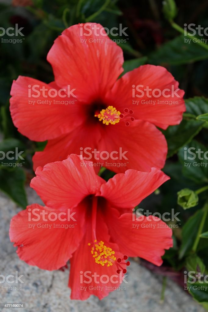 Double Red Hibiscus Tropical Flower Stock Photo More Pictures Of