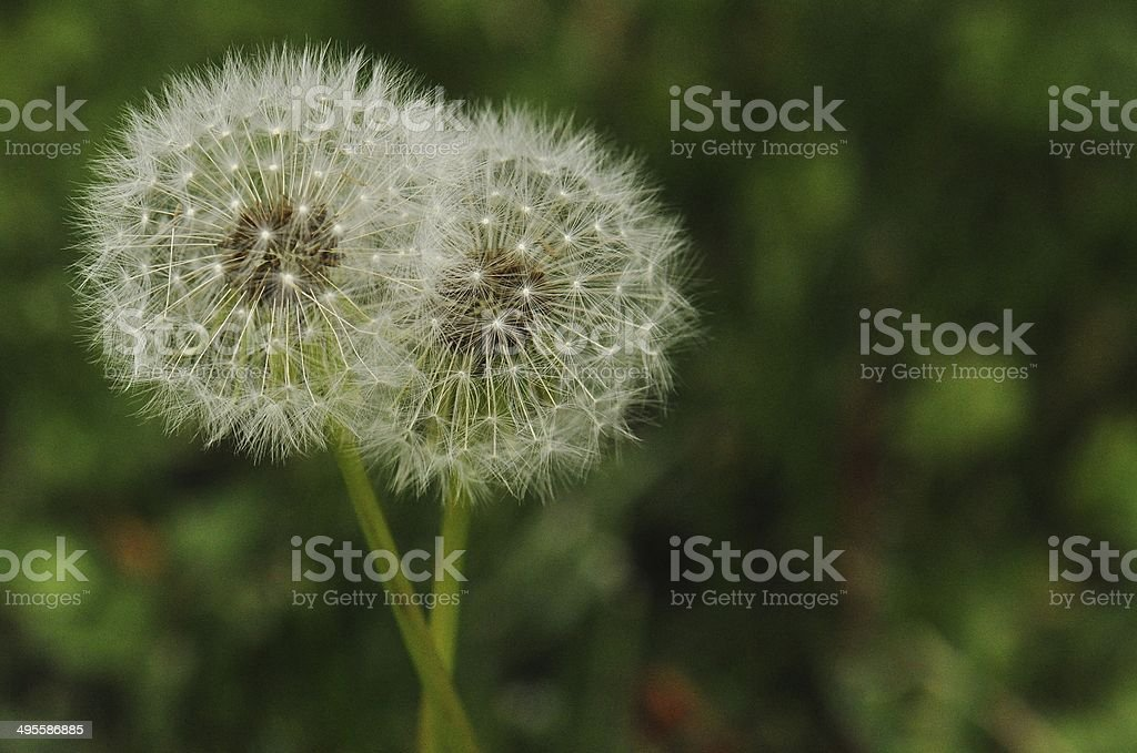 Double Trouble - Two Dandelions In Seed Stage stock photo