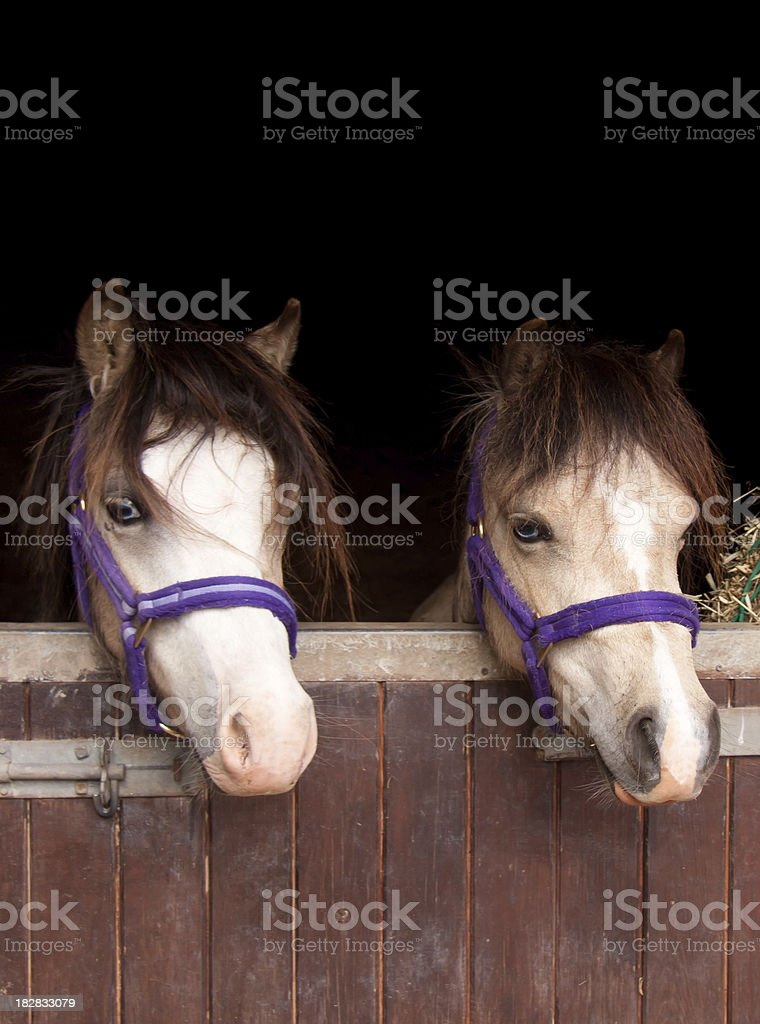 Double trouble-two ponies looking over stable door royalty-free stock photo