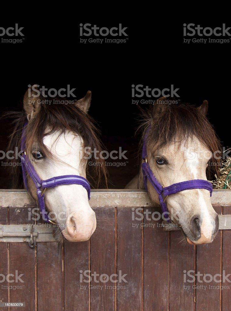 Double trouble-two ponies looking over stable door stock photo