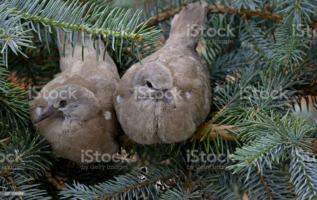 double turtledove stock photo