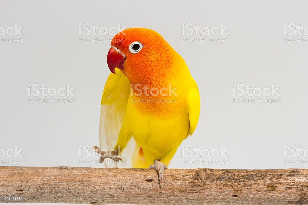 Jaune Lovebird Double photo libre de droits