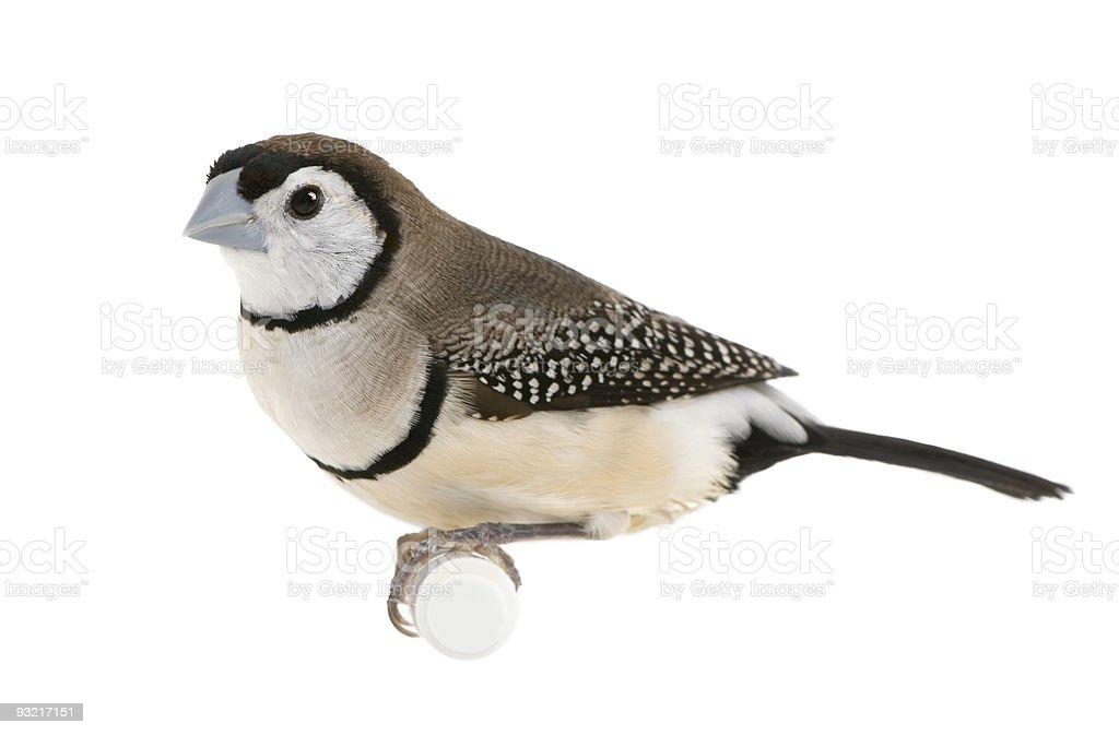 Double-barred Finch - Taeniopygia bichenovii stock photo