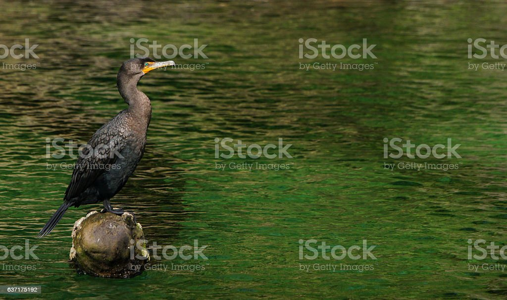Double-crested Cormorant at Blue Springs State Park stock photo