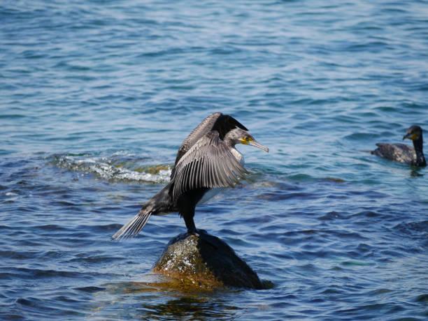 Double-Crested Cormorant In The Sea