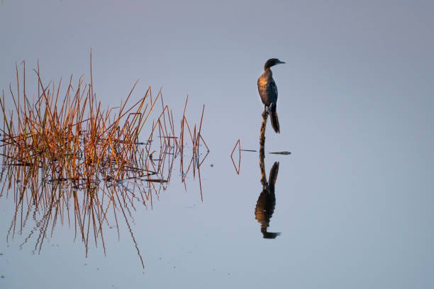 A Double-crested Cormorant (Phalacrocorax auritus) perched on a dock piling spreads its wings to dry stock photo
