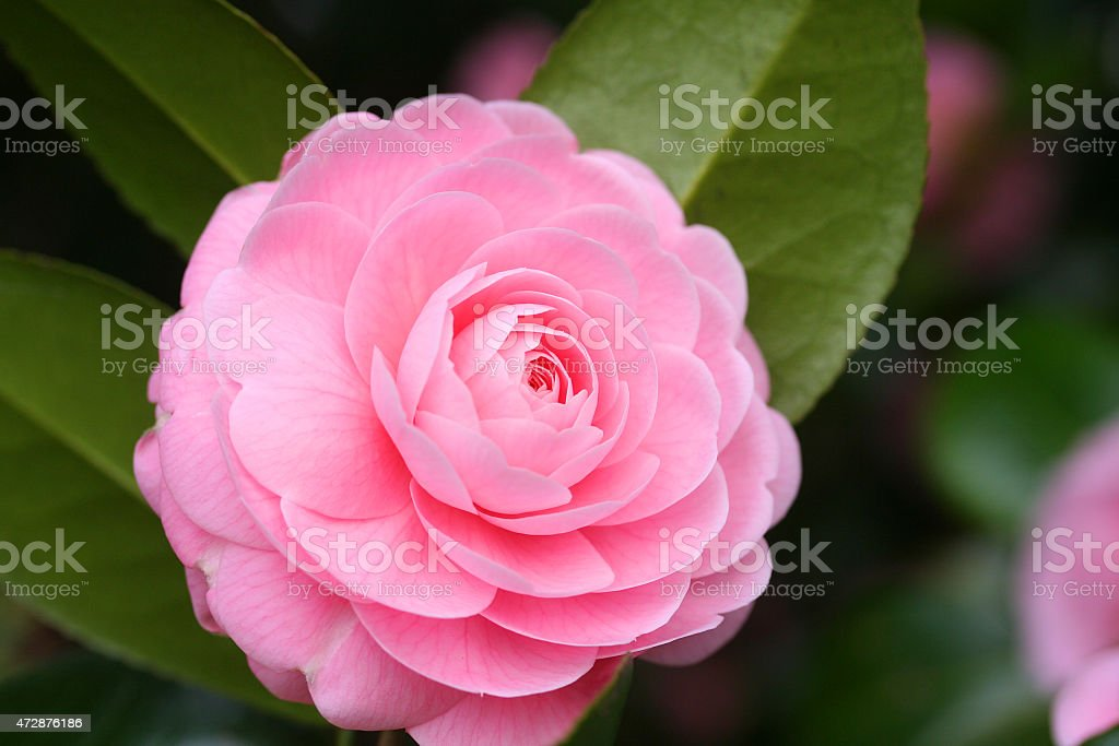 Double-flowered camellia stock photo
