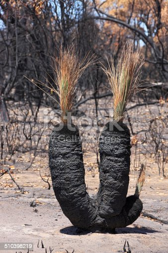 Double-headed grasstree (with extra nodule) after a summer bushfire.  In the background, trees blackened and burnt by the devastating fire.  The burnt foliage has an autumn tinge.  Vertical.