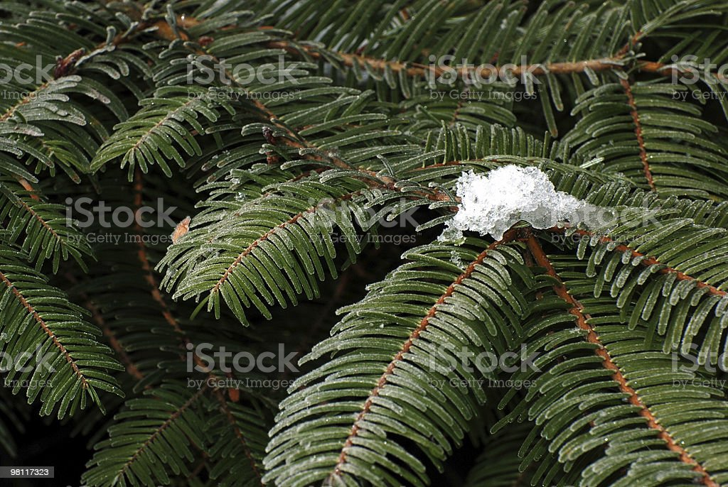 Douglas Fir Close up of Needles royalty-free stock photo