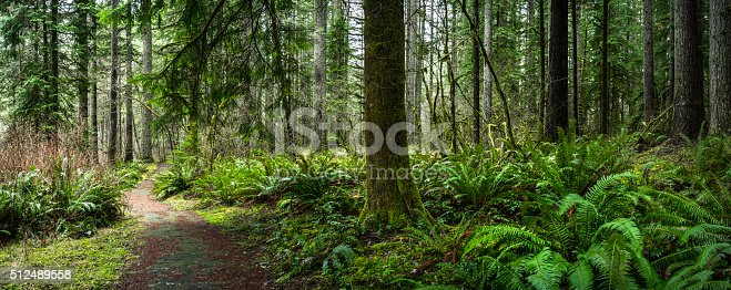 Forest with Pine and Douglas Fir Panorama