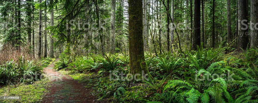 Douglas Fir Forest with Fern stock photo