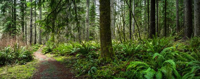 Douglas Fir Forest With Fern Stock Photo - Download Image ...  Douglas Fir Forest