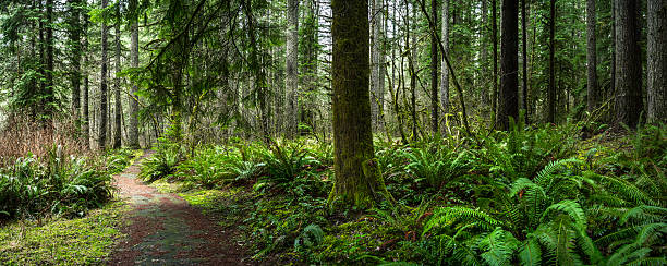 Douglas Fir Forest with Fern Forest with Pine and Douglas Fir Panorama glade stock pictures, royalty-free photos & images