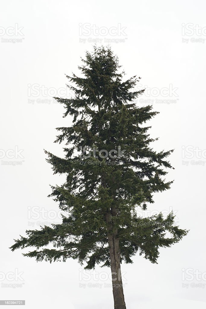 Douglas Fir Tree On Light Background royalty-free stock photo