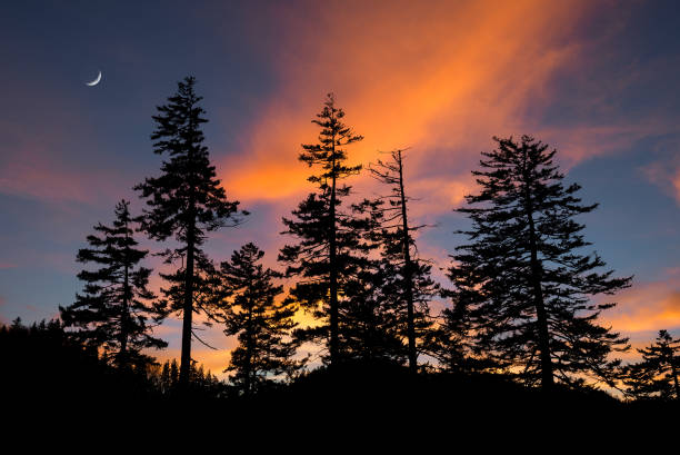 Douglas fir trees silhouetted against the evening sky stock photo