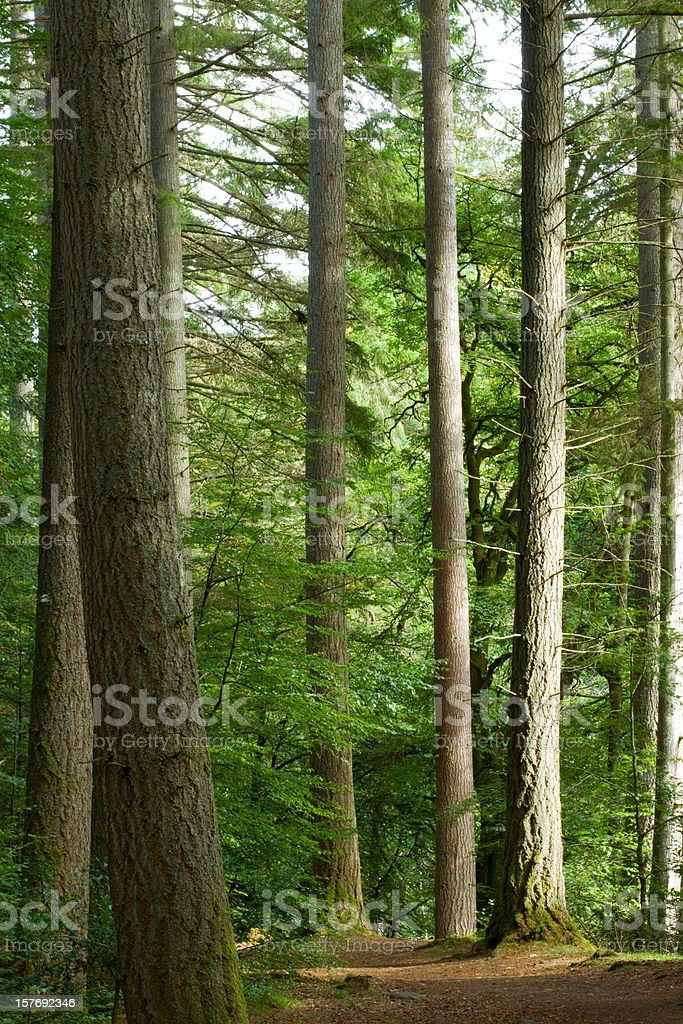 Douglas Firs royalty-free stock photo
