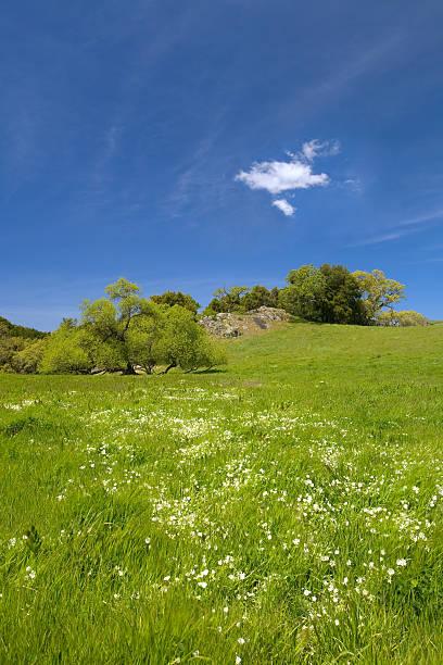 Douglas'Wiesenschaumkraut, Limnanthes squirrel im grünen Gras mit blauem Himmel – Foto