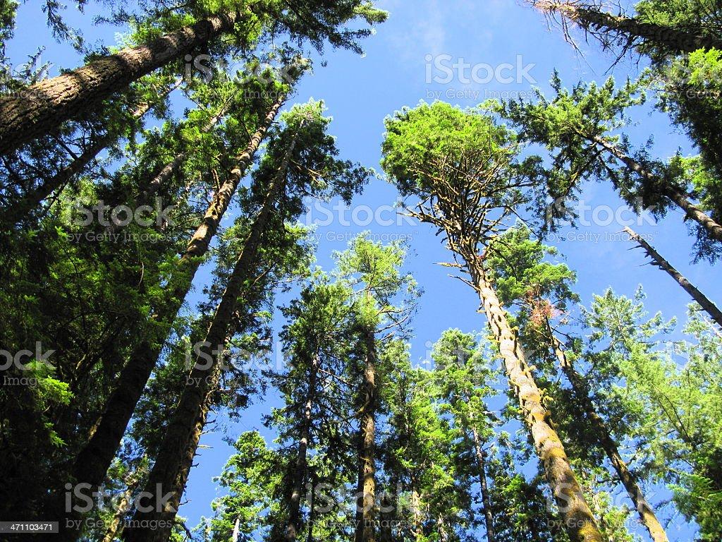 Douglas-Fir Trees Blue Sky royalty-free stock photo