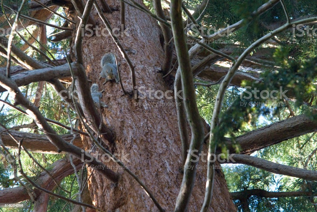 Douglass Fir and Grey Squirrels (Sciurus Carolinensis), England stock photo