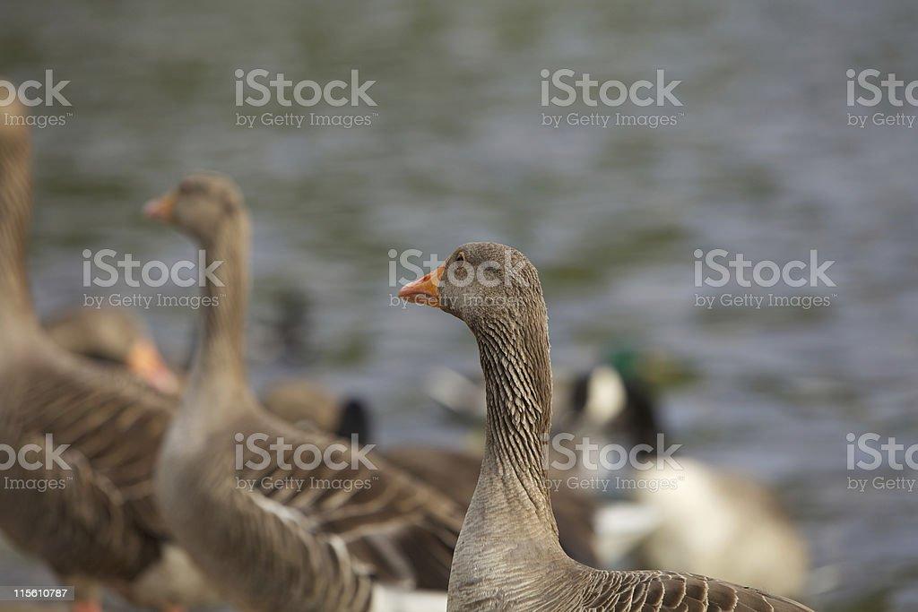 Doup of Ducks royalty-free stock photo