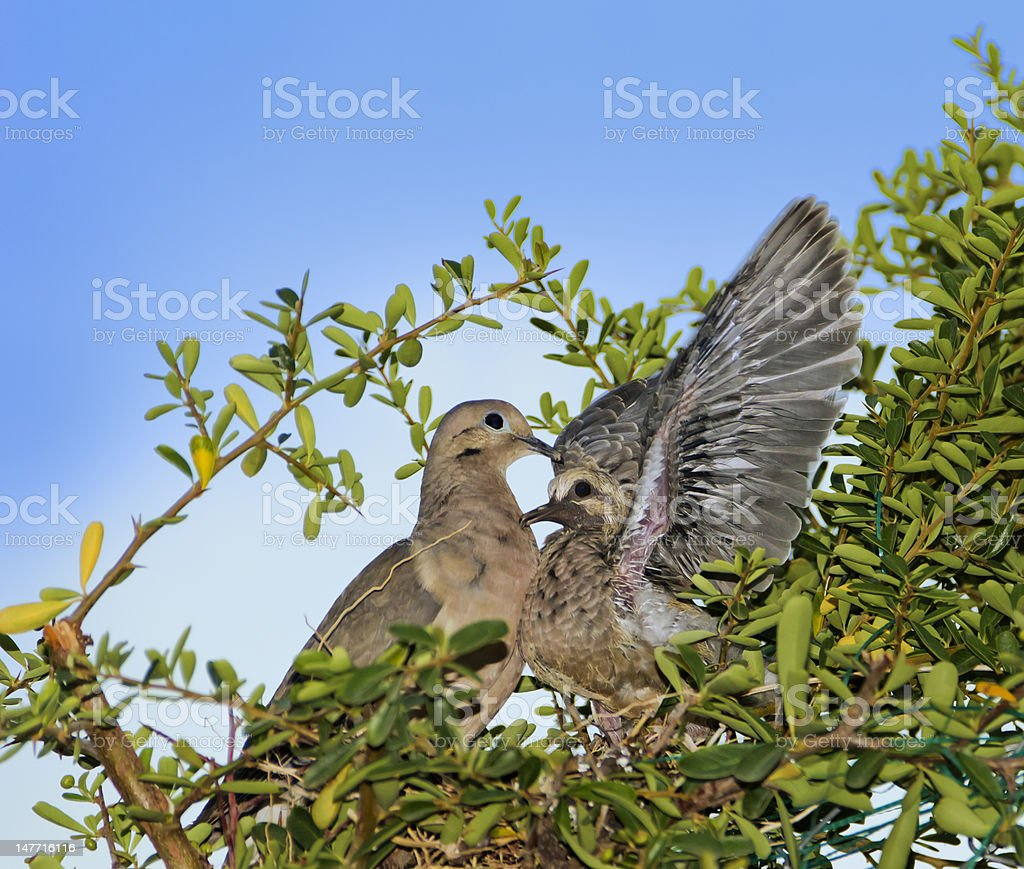 Dove and pigeon royalty-free stock photo