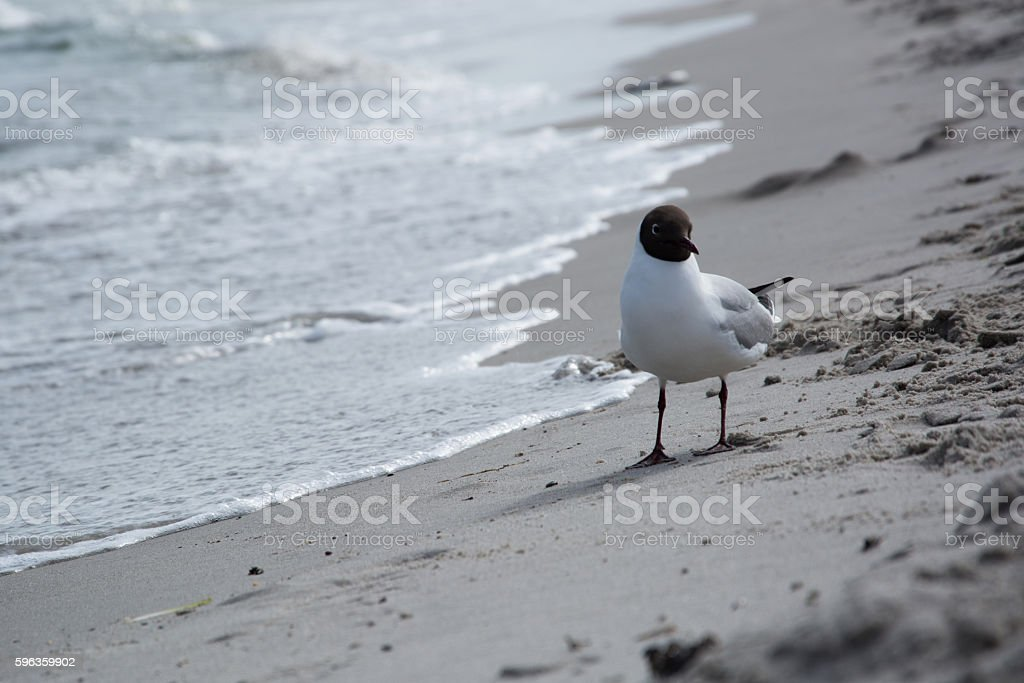 Dove at the beach in Zingst, Darss, Germany royalty-free stock photo