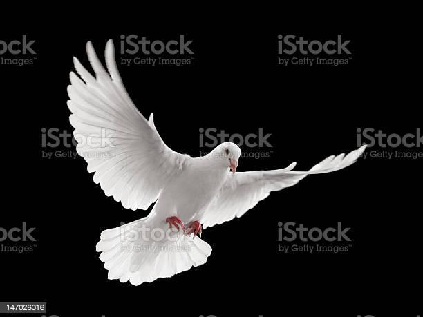 Dove flying picture id147026016?b=1&k=6&m=147026016&s=612x612&h=amkjicytnyzljygrmwjr6a3 b7xqxhw484tar akaeo=