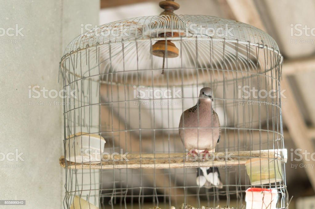 A dove in a wooden cage stock photo