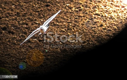 dove flying over plowed fields illuminated by spotlight with lens flare