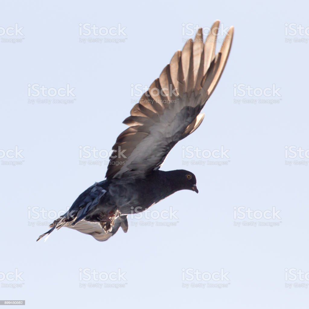 dove in flight in the sky stock photo