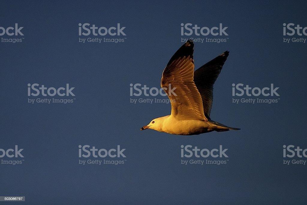 dove in flight royalty-free stock photo