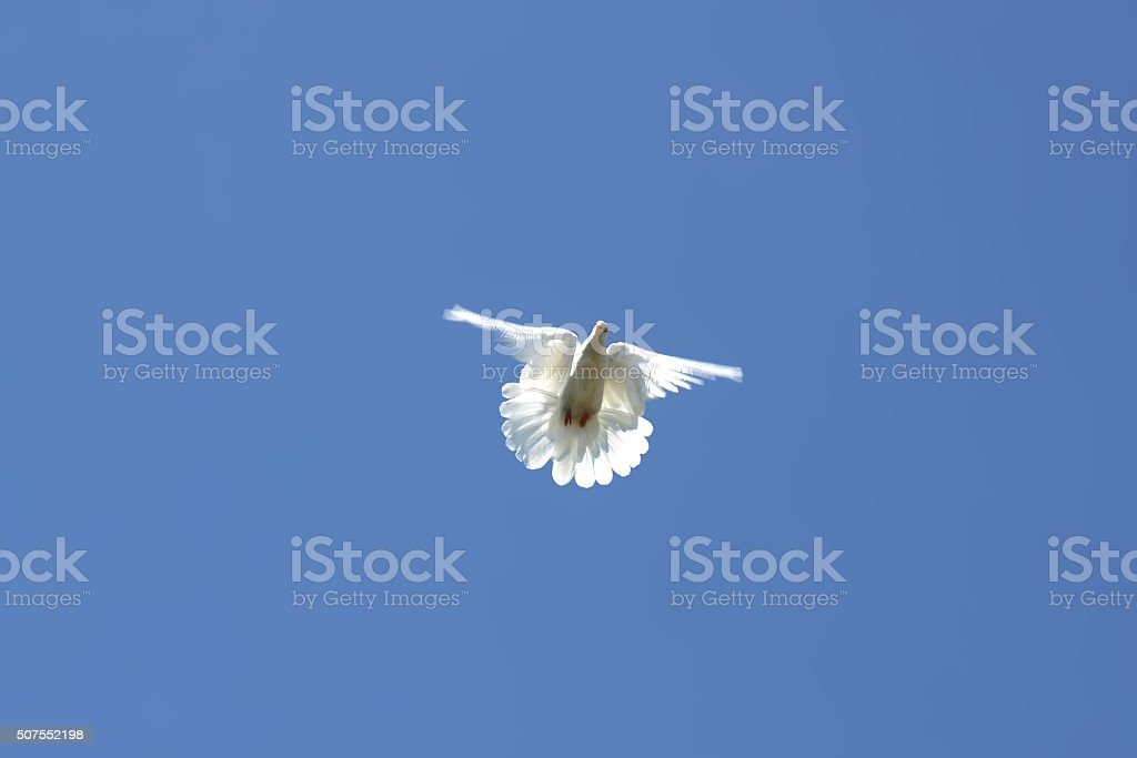Dove in the air stock photo