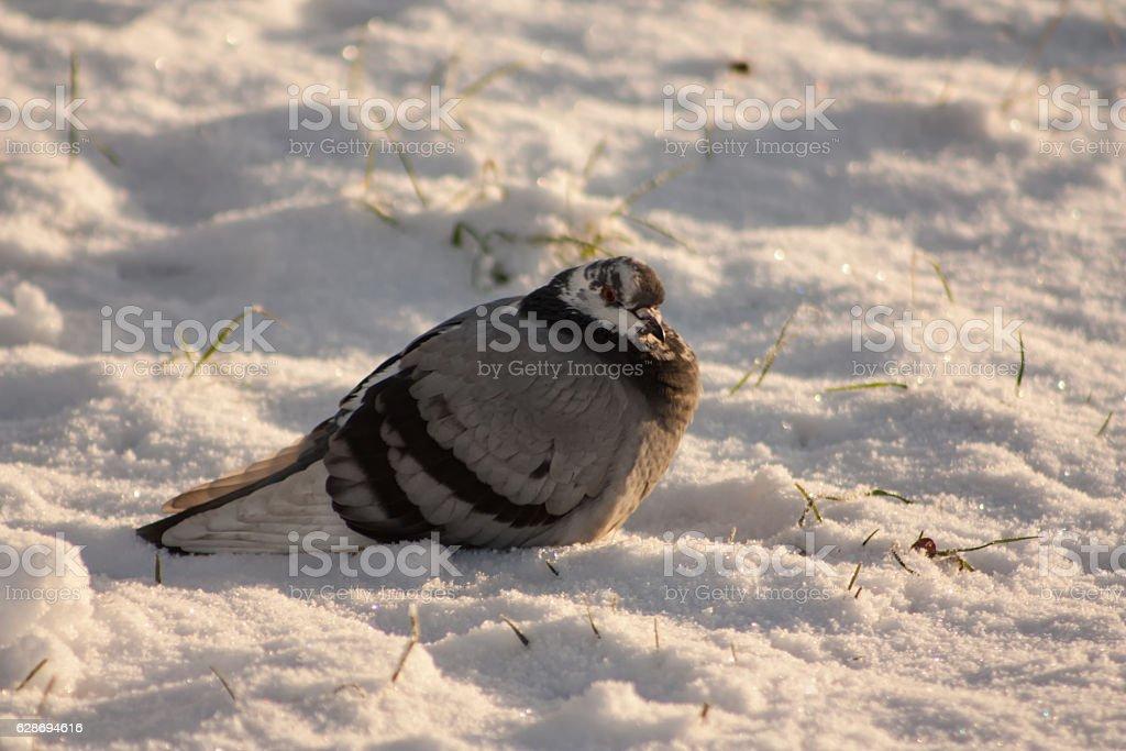 Dove in the snow stock photo