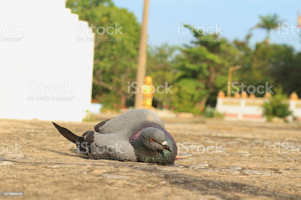 Dove Lying on the floor stock photo