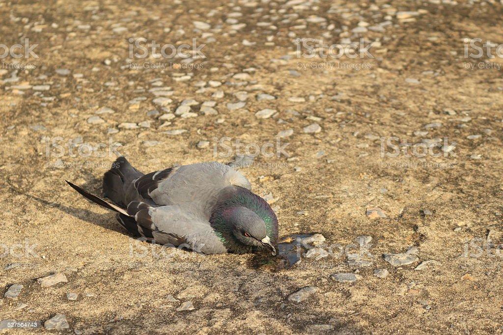 Dove Lying on the floor was bird flu. stock photo