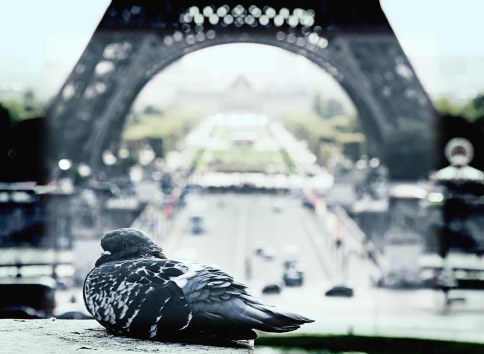 Dove near the Eiffel Tower