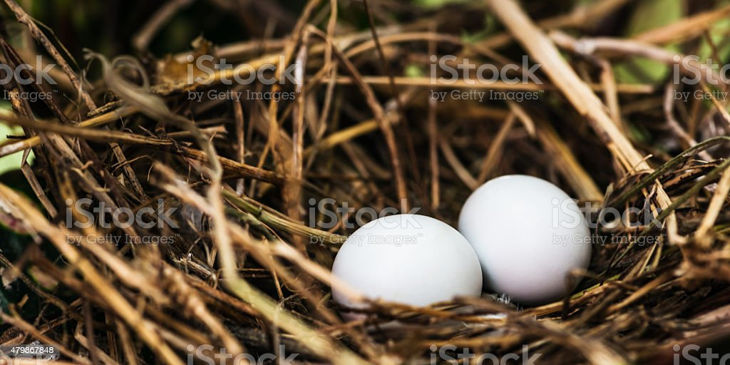 Dove nest with two unhatched eggs in it stock photo