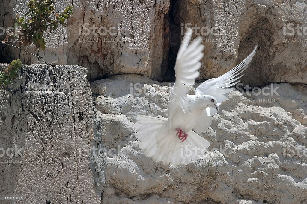 Dove on the Wailing Wall stock photo