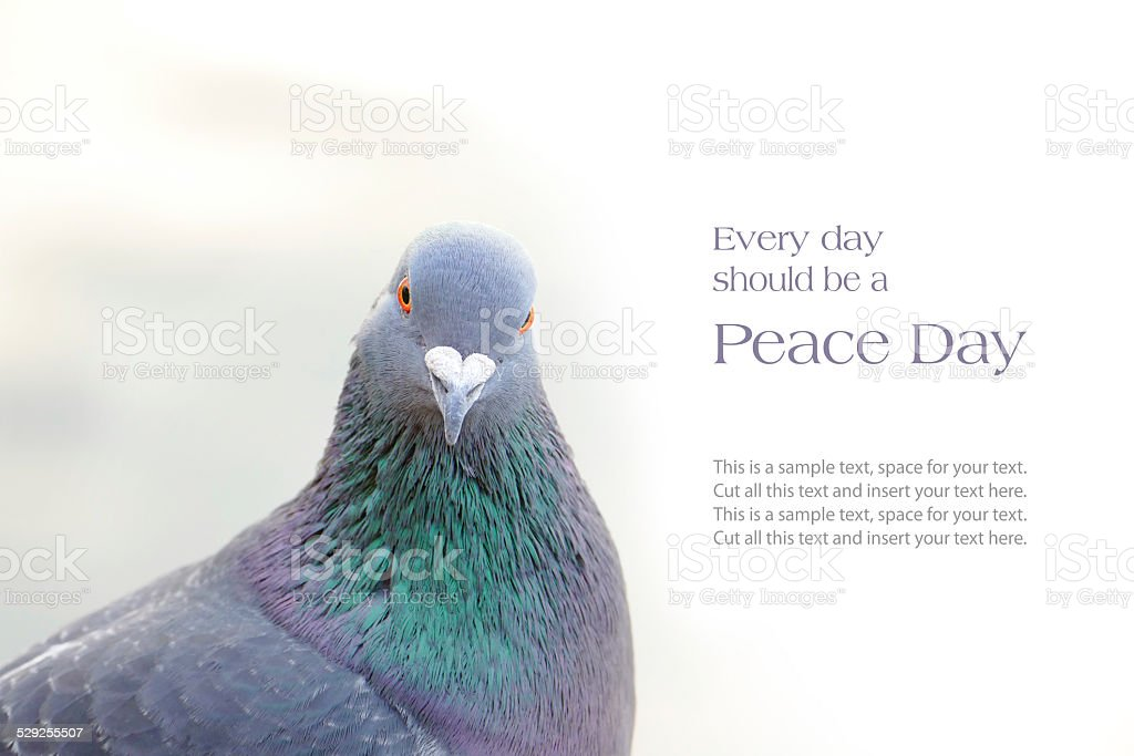 dove or homing pigeon, peace message stock photo