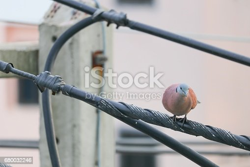 Dove  selective focus  perched on an electricity wire. birds in love as valentine love symbol.  ( spotted dove, Columbidae)